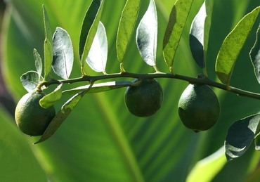 Limequat_citrus_aurantifolia_x_fort
