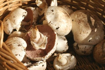Agaric_champetre_agaricus_campest_2