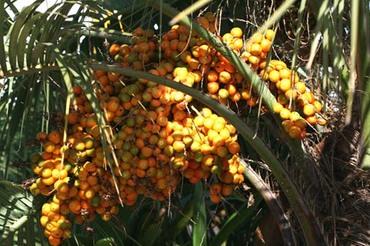 Butia_fruit