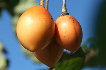 Tamarillo_tomate_japons_tomate_de_a
