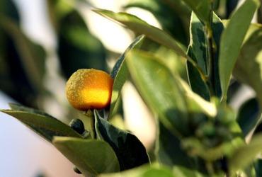 Kalamansi_calamondin_citrus_maduren