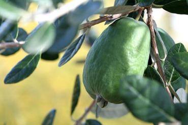 Pineapple_guava_feijoa_goiabaserran