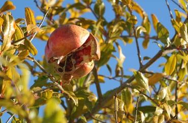 Pomegranate_grenade_rom_2