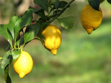 3_lemons_3_citrons