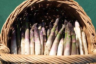 Asparagus_asperges_1