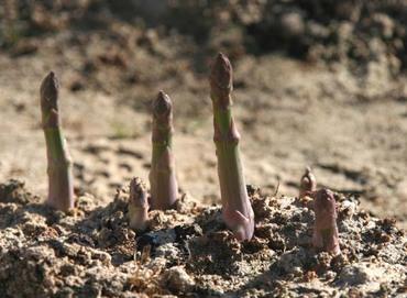 Asparagus_officinalis