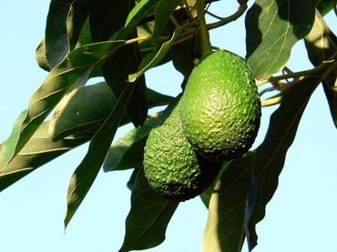 Avocado_avocats
