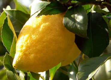 Citrus_lemon_citron