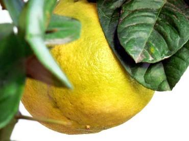 Citrus_limon_ponderosa
