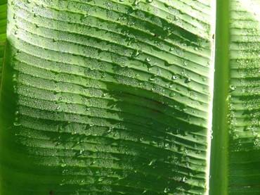 Musa_feuille_bananier_banana_leaf