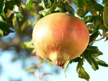 Punicum_malum_pomegranate_grenade_1