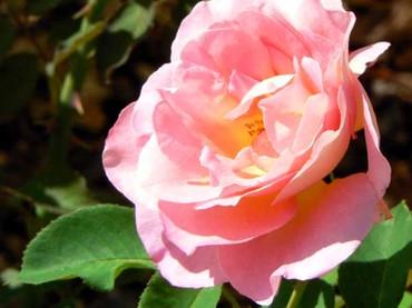 Rose_pink_rosa_rosa