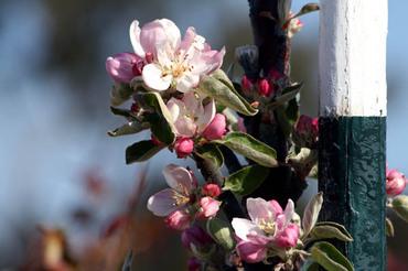 Apple_blossoms_fleur_de_pommier