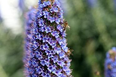 Echium_bleu_echium_fastuosum