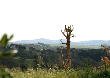 Ombu_tree