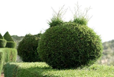 Mickey_topiaire_topiary