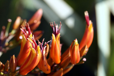 New_zealand_flax_phormium_lin_de_no