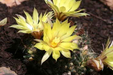 Ball_cactus