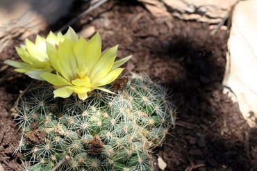 Mammillaria_sphaerica