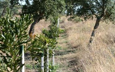Macadamia_trees