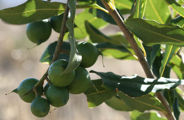 Noix_du_queensland_nut_bush_nut_mar