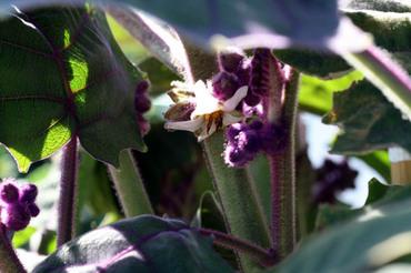 Solanum_quitoense_flower_fleur