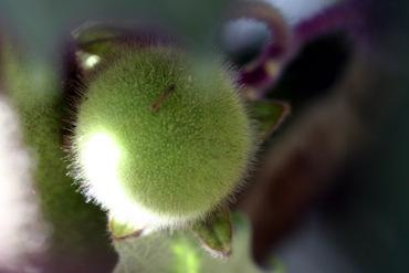Solanum_quitoense_fruit_naranjilla_