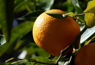 Orange_laranja_citrus_sinensis