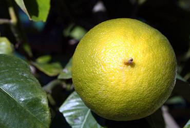 Bergamot_citrus_bergamia_bergamote