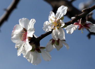 Almond_tree_amandier