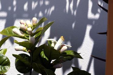 Fleur_cedrat