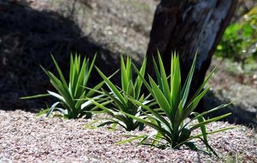 Yucca_on_mulch