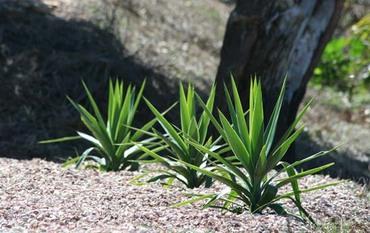 Yucca_elephantipes