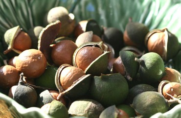 Noix_macadamia_nut_queensland_nut_n