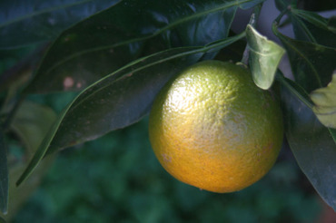Ripening_orange_murir