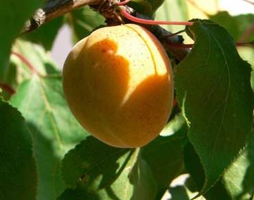 Apricot_abricot