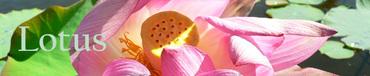 Bandeau_lotus_lof