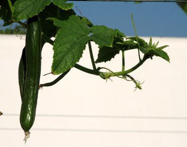 Cucumber_concombre_pepino