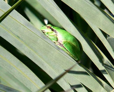 Frog_grenouille