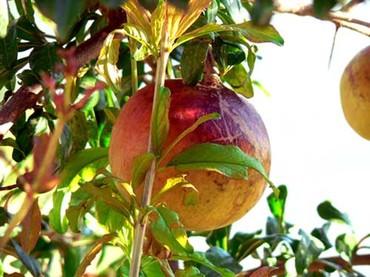 Grenade_pomegranate
