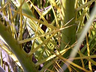 Palmier_phoenix_des_canaries_pines_dange