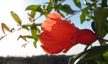 Pomegranate_fleur_grenade_roma
