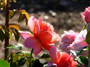 Roses_morning_matin