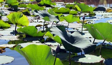 Sacred_water_lily_lotus