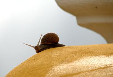 Snail_helix_aspersa_1