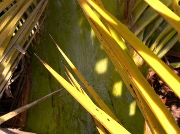 Spines_canary_date_palm_phoenix_canarien