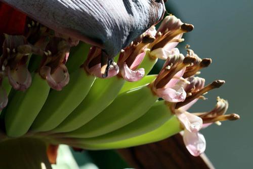 Banana_flower_fleur_de_bananier