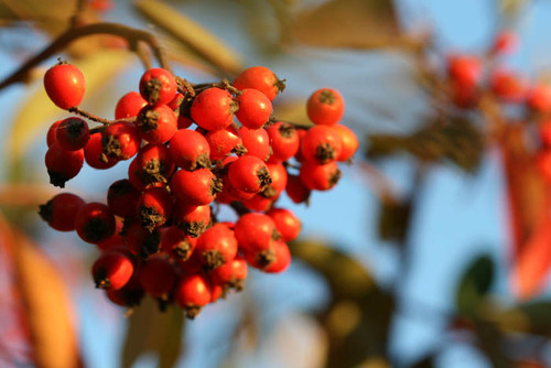Cotoneaster_fruit