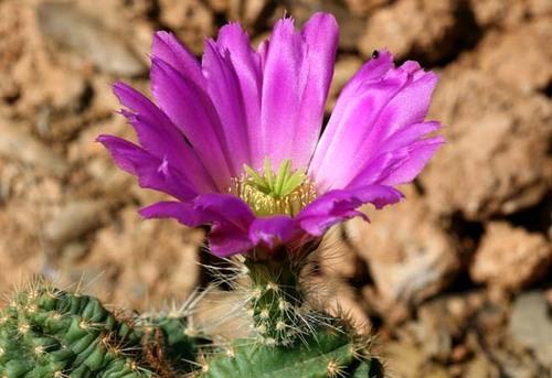 Echinocereus_salm_dyckianus_flower_fleur