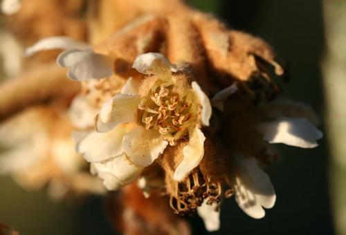 Loquat_flower_fleur_de_nflier_du_japon_e